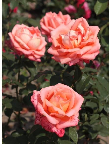 róże herbaciane folklore