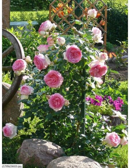 Eden Rose róża parkowa