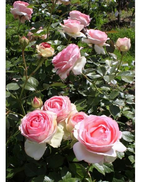 Eden Rose parkowe roze