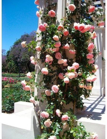 parkowa roza Eden Rose
