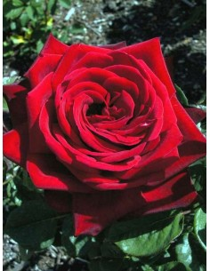 LOVING MEMORY roze wielkokwiatowe bordowe