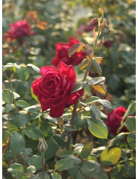 Loving Memory bordowe róże wielkokwiatowe