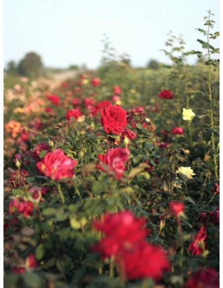 róże bordowe wielkokwaitowe Loving Memory