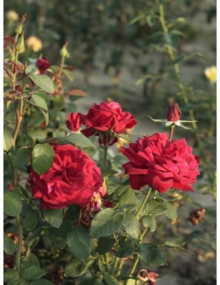 róże wielkokwiatowe Loving Memory bordowe