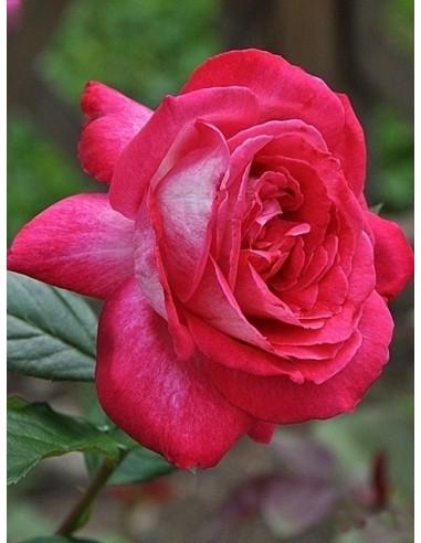 róże wielkokwiatowe Rose Gaujard