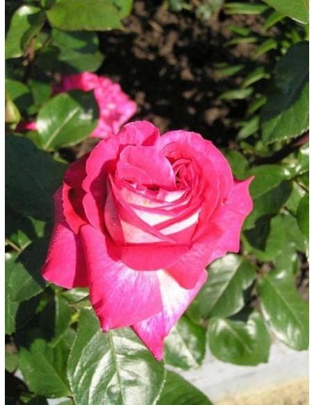 wielkokwiatowe róże Rose Gaujard