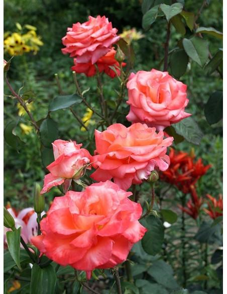 róże wielkokwiatowe folklore
