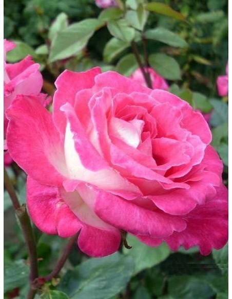 Rose Gaujard wielkokwiatowe róże