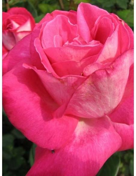 wielkokwiatowa róża rose Gaujard