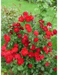 róże bordowe rabatowe Lilli Marleen