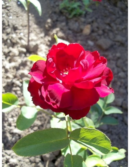 bordowe róże rabatowe Lilli Marleen