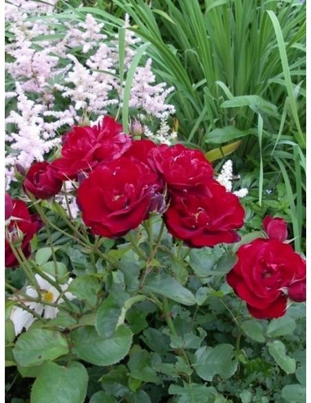 Lilli Marleen róże bordowe rabatowe