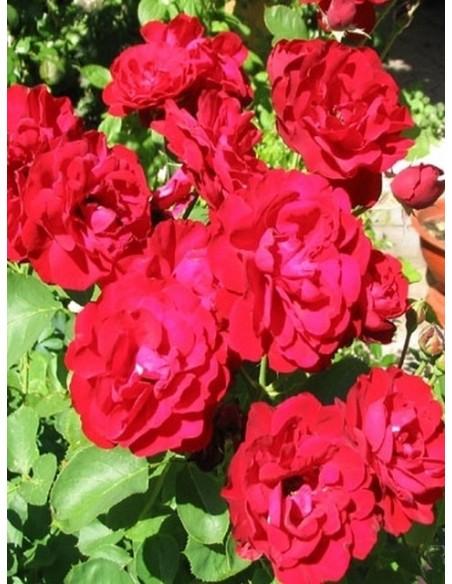 Lilli Marleen bordowe róże rabatowe