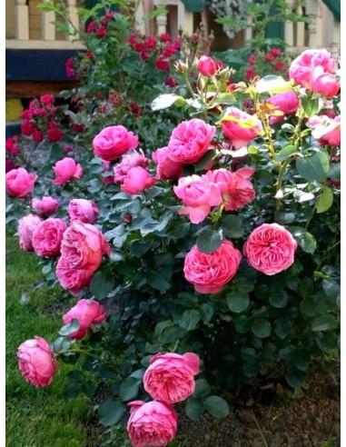 rabatowe róże Leonardo Da Vinci różowe