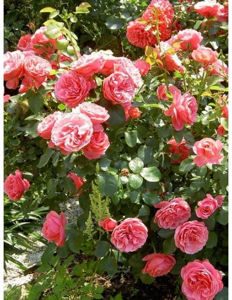 Leonardo Da Vinci rabatowe róże różowe