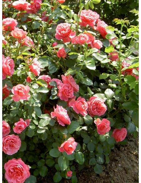 rabatowe róże różowe Leonardo Da Vinci