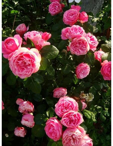 rabatowe roze rozowe Leonardo Da Vinci
