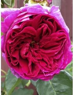Othello pachnące róże angielskie