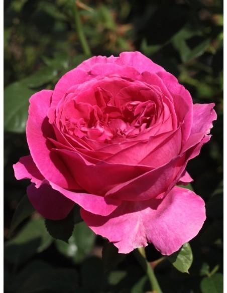 róże angielskie Othello
