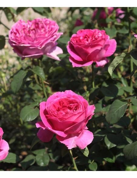 angielskie róże Othello