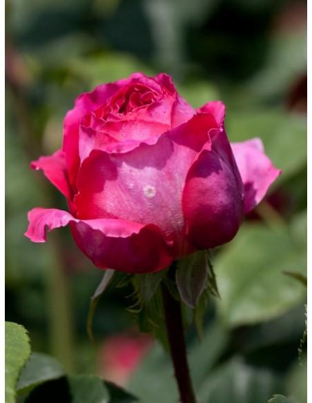 Othello róże angielskie
