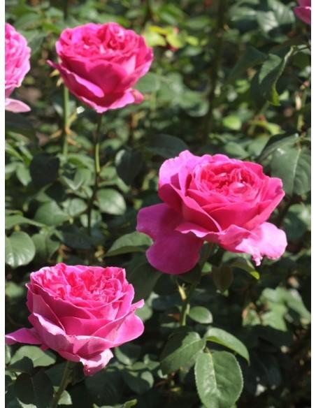 Othello angielskie róże