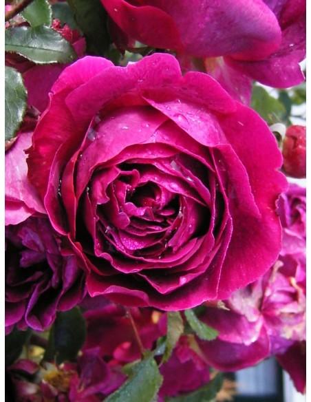 Othello pachnące róze angielskie