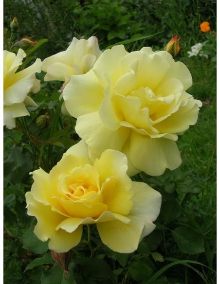 arthur bell żołte róże rabatowe