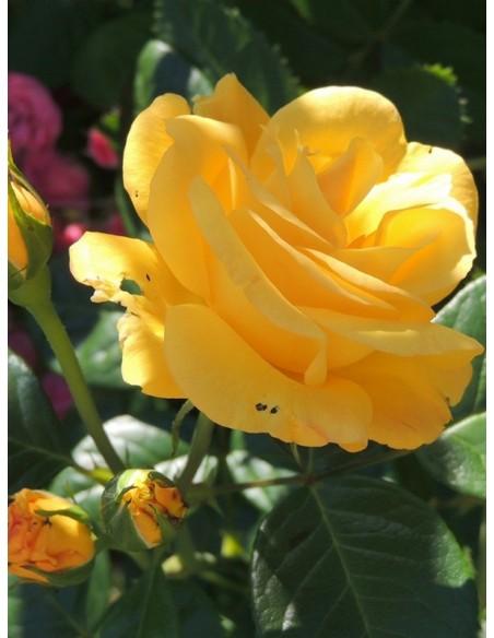 arthur bell żółte róże rabatowe