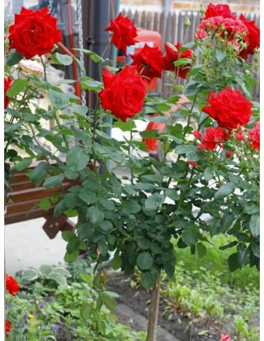 róże pienne Poulman