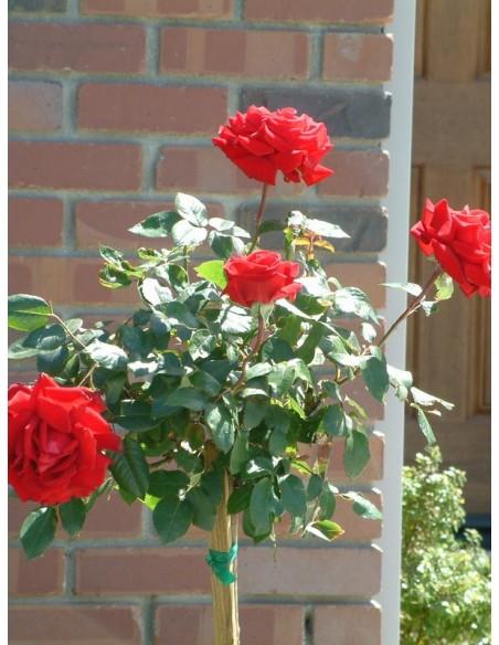 pienne róże Poulman