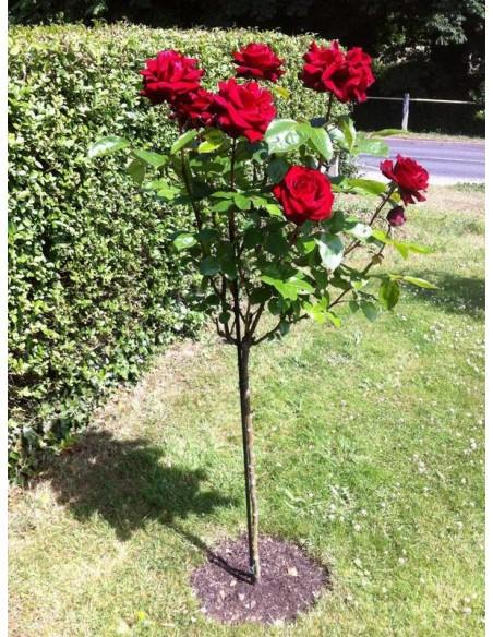Róże na pniu Poulman