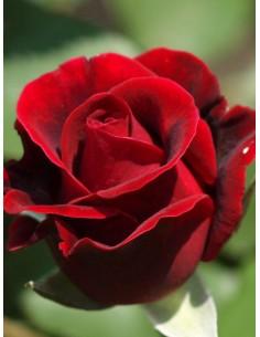 Róże wielkokwiatowe Mister Lincoln