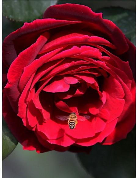 Mister Lincoln Róże wielkokwiatowe