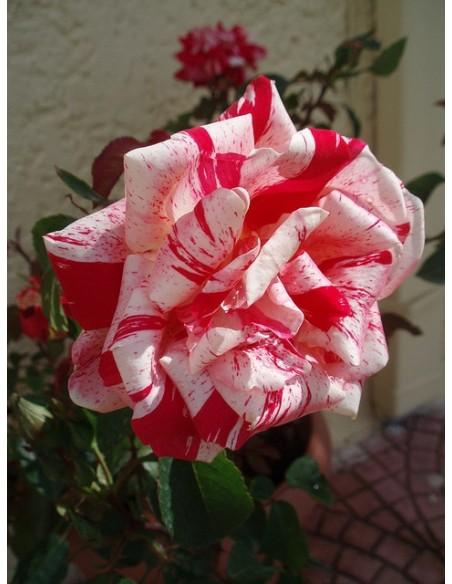 róza wielkokwiatowa papageno