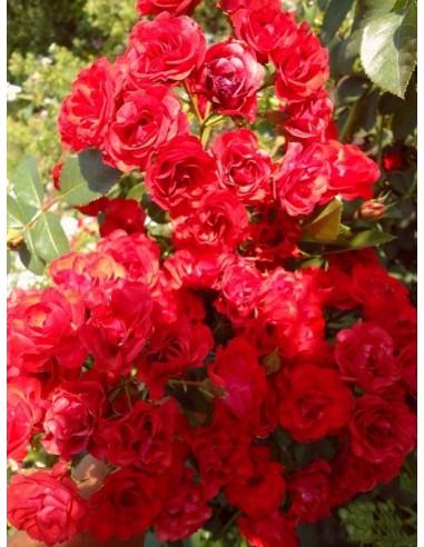 róze okrywowe Scarlet Meillandecor