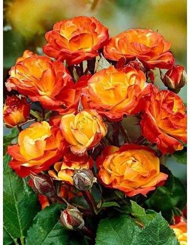 wielobarwne róże rabatowe Cuba Dance