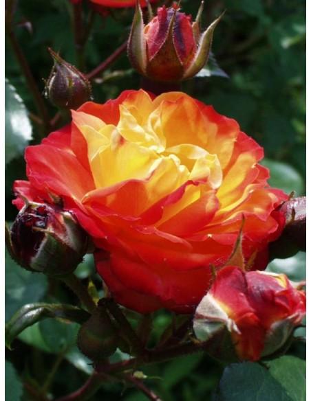 rabowe róże rumba