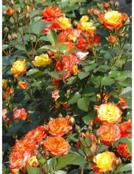 róze rumba
