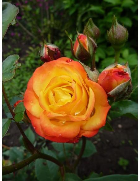 rumba rabatowe róze