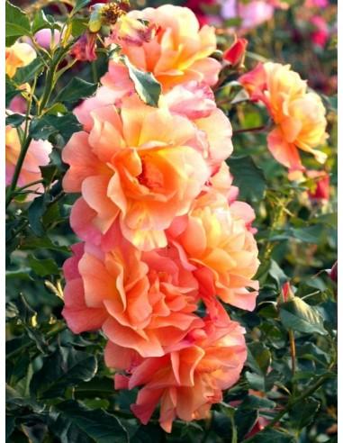 róża westerland parkowa