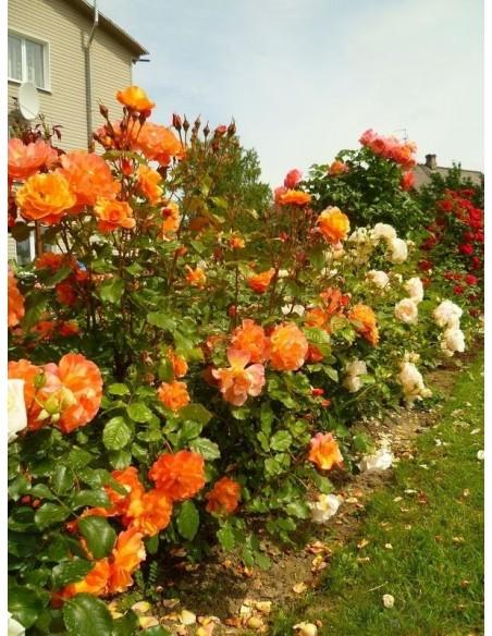 róza parkowa westerland