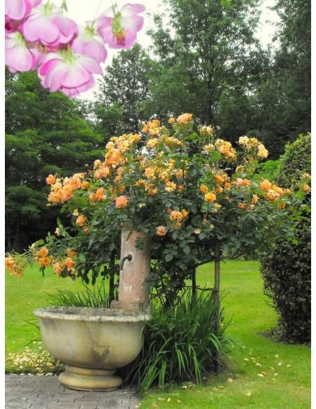 westerland parkowa roża