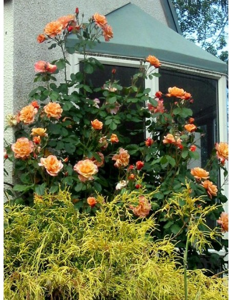 roża westerland parkowa