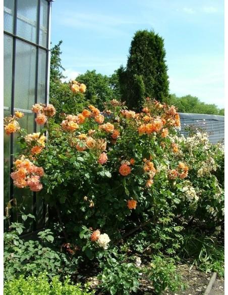 róza westerland parkowy