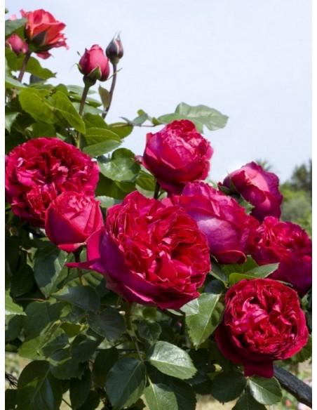 róże eric tabarly