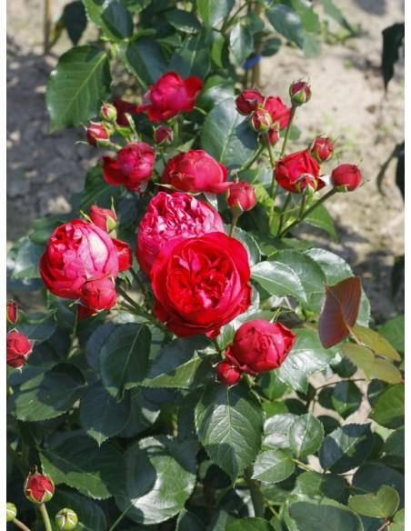 róża red pierre de ronsard