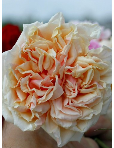 Gloire de Dijon - róże historyczne