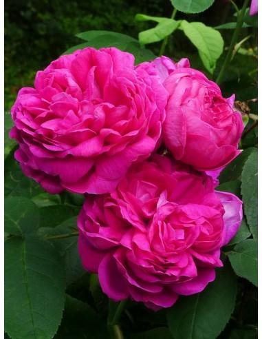 róze hisytoryczne Rose de Resht