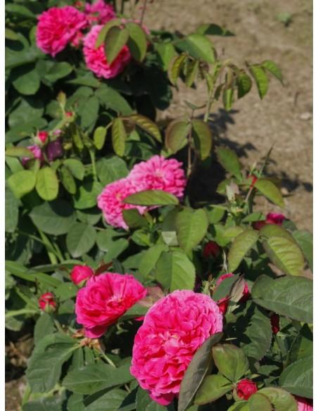 Rose de Resht róża historyczna